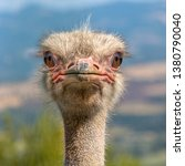 Small photo of Ostrich Head frontal in Natural Environment. The Ostrich or Common Ostrich (Struthio camelus) is either one or two species of large flightless birds native to Africa