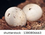 Tawny Owl Eggs In Nest