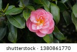 Incredible beautiful camellia   ...