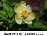 close up of yellow peony ... | Shutterstock . vector #1380862226
