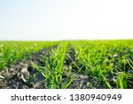 young sprouts of winter wheat... | Shutterstock . vector #1380940949