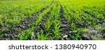 young sprouts of winter wheat... | Shutterstock . vector #1380940970