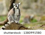 ring tailed lemur  lemur catta  | Shutterstock . vector #1380991580