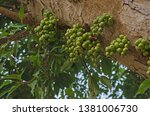 green fruits on trunk of common ... | Shutterstock . vector #1381006730
