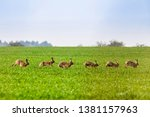 Stock photo kelso scottish borders uk th april brown hares lepus europaeus on arable farmland near 1381157963