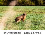 Stock photo roxburgh kelso scottish borders uk th march a european hare also known as the brown 1381157966