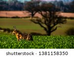 Stock photo roxburgh kelso scottish borders uk th april a european hare also known as the brown 1381158350