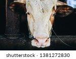 simmental cow  bos taurus ...   Shutterstock . vector #1381272830