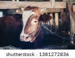 simmental cow  bos taurus ...   Shutterstock . vector #1381272836