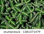 close up of striped nephthytis... | Shutterstock . vector #1381371479