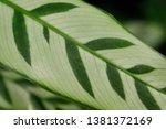 close up of marantaceae... | Shutterstock . vector #1381372169