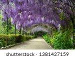 Beautiful Purple Wisteria In...