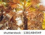 Dry Palm Leaf  Dried Sugar Pal...