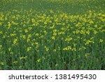 rapeseed flower field in nagoya ... | Shutterstock . vector #1381495430