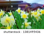 yellow daffodil flowers or... | Shutterstock . vector #1381495436