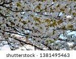 sakura blooming in the garden. | Shutterstock . vector #1381495463
