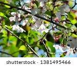 sakura blooming in the garden. | Shutterstock . vector #1381495466