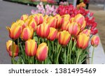 colorful tulip is blooming in... | Shutterstock . vector #1381495469