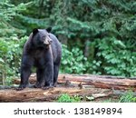 Black Bear Standing On Fallen...