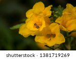 A Bee With Yellow Trumpet...
