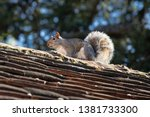 Grey Squirrel On Top Of An Old...