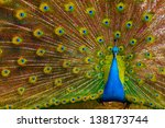 close up of peacock showing its ... | Shutterstock . vector #138173744