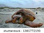 Loggerhead Sea Turtle Nesting...