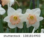 Salome Pink And White Daffodils