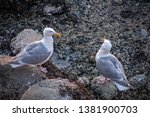 seagull flight beach ast close... | Shutterstock . vector #1381900703