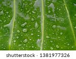 Water Over Taro Leaves When It...