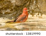 Summer Tanager Bathes In A...