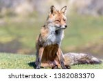Red Fox Close Up On Soft...