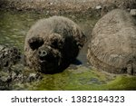 Small photo of Pigs lie in the mud. Hogs wallow in the mud. Swine stay in the mud. Hungarian pigs take a bath in a puddle. Wallowing Hungarian hogs. Hogs in the mud