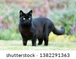 Stock photo close up of a black cat on the grass in the garden uk 1382291363