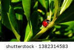 Ladybug On Green Leaf In A...