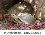 Stock photo african spurred tortoise at burrow entrance big geochelone sulcata in hollow the african spurred 1382382086