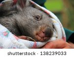 Baby Wombat In The Arms Of A...