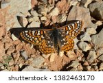 Anicia checkerspot butterfly in ...