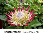 Pink Protea Plant  Cynaroides ...