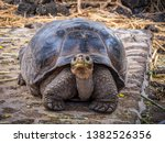 Stock photo close up of a beautiful giant tortoise in the highland of santa cruz island galapagos islands 1382526356