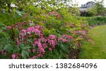 Pink White Flowering Dicentra...