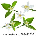 fresh lemon flower isolated on... | Shutterstock . vector #1382699333