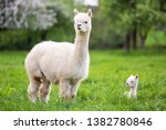 White Alpaca With Offspring ...