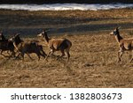 Herd Of Hind Walking And...