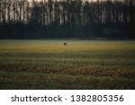 Stock photo hare running ona a field during morning hours and sunrise 1382805356
