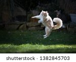 Stock photo young cream tabby maine coon cat playing in the garden jumping in the air 1382845703