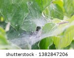 A Spider In Its Web On A Bush...