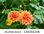 beautiful dahlia flowers | Shutterstock . vector #138286268