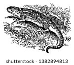 Cold Blooded Salamander Which...