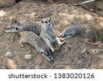 a family of meerkat also known... | Shutterstock . vector #1383020126